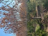 江苏无锡15公分樱花多少钱一棵苗圃