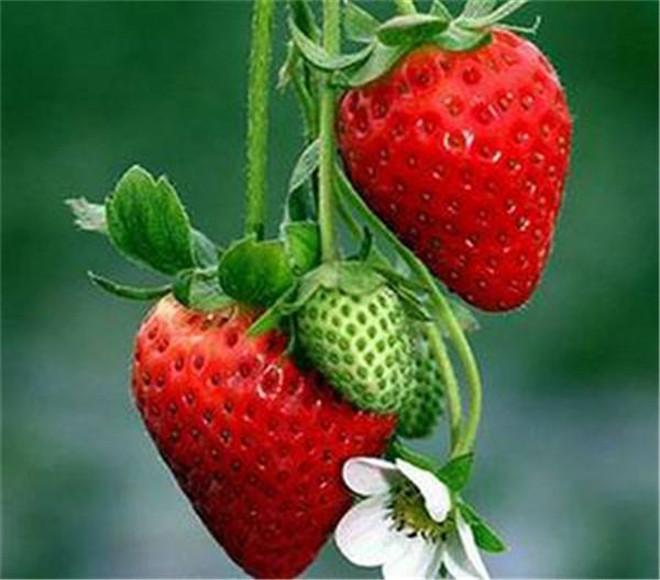 202草莓苗种植基地,湛江市