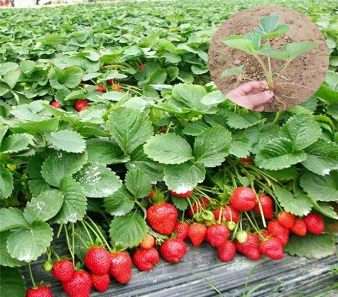 奶油草莓苗价钱,湖南湘潭奶油草莓苗