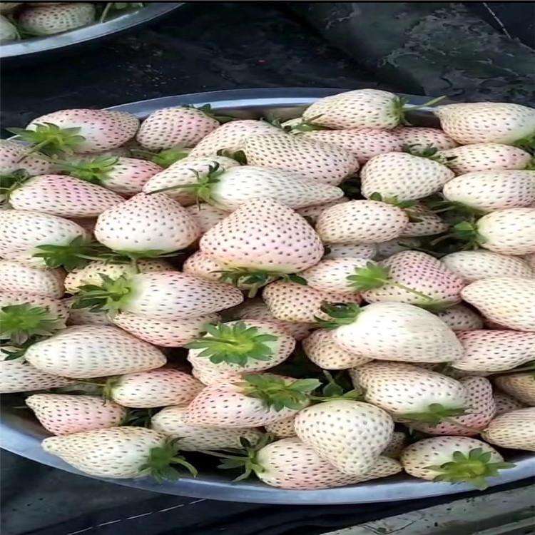 绥化章姬草莓苗品种纯正假一赔十