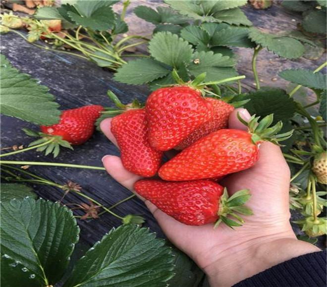 红颜草莓苗多少钱一棵,江西赣州红颜草莓苗