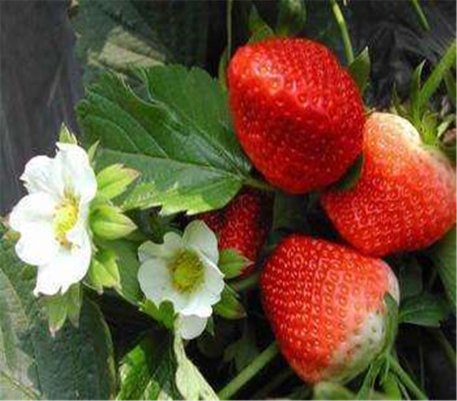 奶油草莓苗市场价,湖北荆门奶油草莓苗