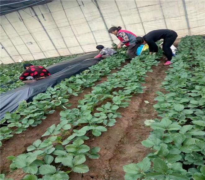 红颜草莓苗价钱,河南平顶山红颜草莓苗