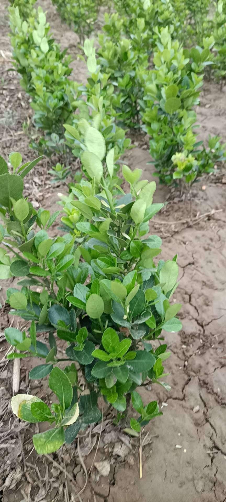 东营12公分聊红槐红花国槐有多年种植经验