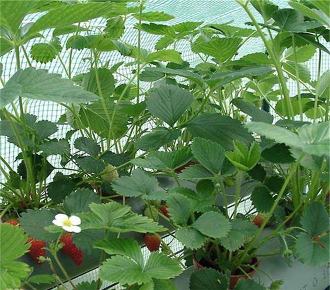 甜宝草莓苗市场价,江苏南京甜宝草莓苗