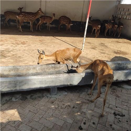 衡阳市哪里有收梅花鹿的