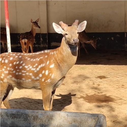湖南省郴州市梅花鹿吃什么小梅花鹿一只多少钱