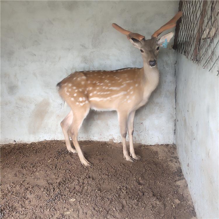 丽水市梅花鹿养殖场