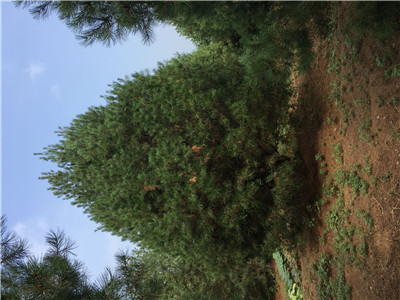 阳曲5米造型景观松产地报价苗圃