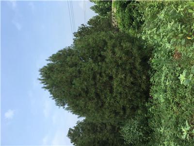 信州丛生白蜡冠幅4.5米特征及园林用途自产自销