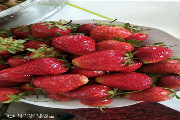 红颜组培草莓苗批发商价格-嘉兴