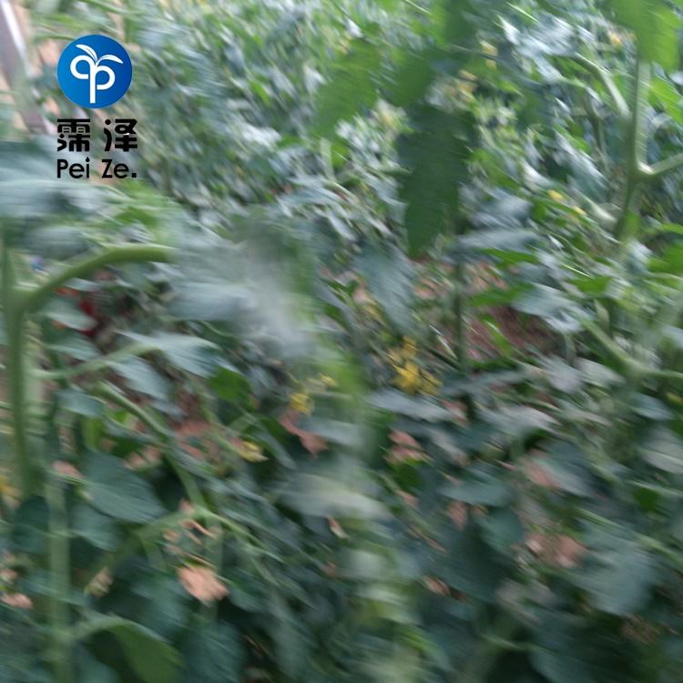 天水麦积大姜滴灌图