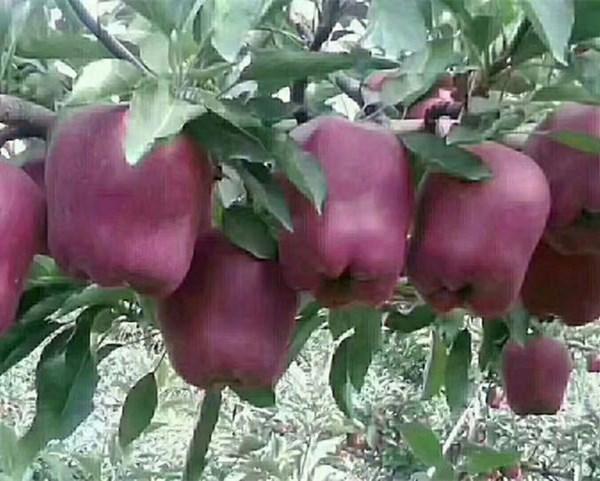 江苏连云港瑞阳苹果苗苹果苗价格