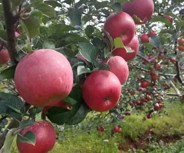 水蜜桃苹果苗价格、2公分苹果苗价格便宜广东欢迎您