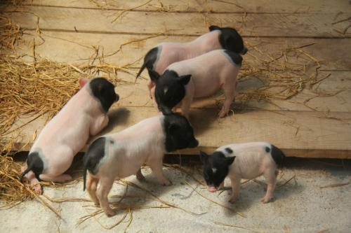 七台河藏香猪喂养技巧