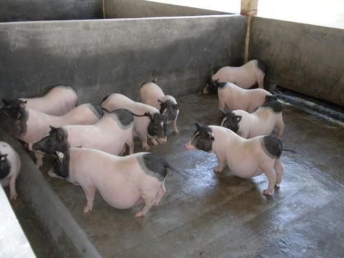 黑河小香猪多少钱一头