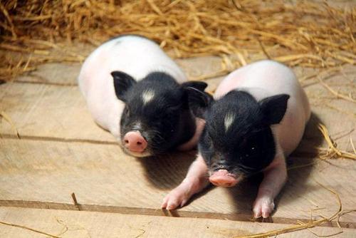 西安小香猪养殖基地在哪