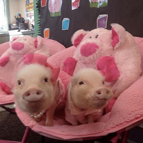 天津藏香猪品种多样