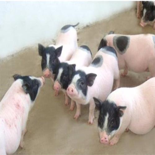 红河香猪地址在哪
