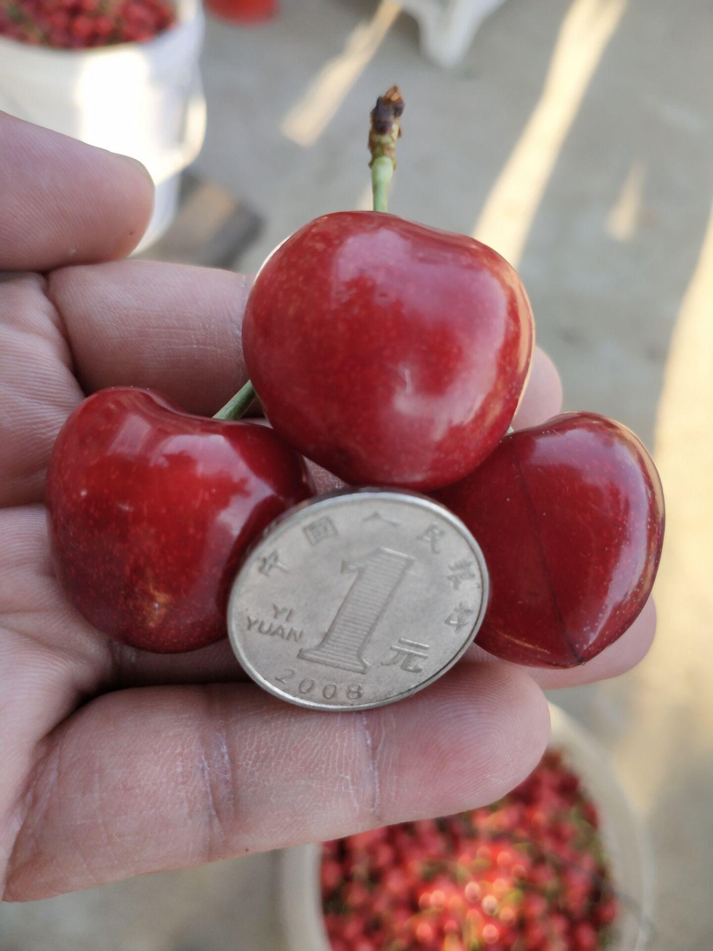 四川凉山矮化樱桃树出售价钱