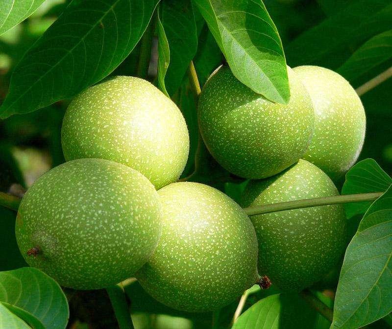 安徽池州2-3年嫁接核桃树苗哪里卖、这里卖