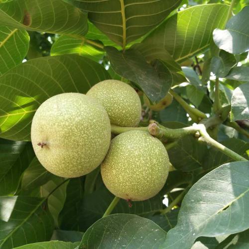 陕西西咸2-3年核桃树苗亩产多少斤