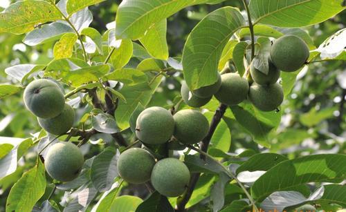 江西吉安2-3年核桃树苗多少钱卖一棵