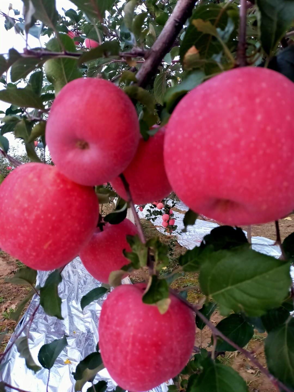 西青短枝苹果树苗品种大全