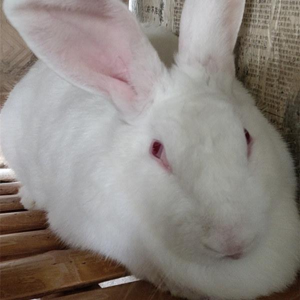 贵州安顺养兔基地现在兔子行情怎么样