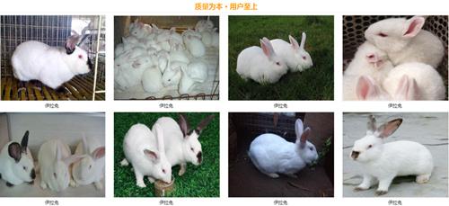 山东德州养兔基地大种兔有哪些品种