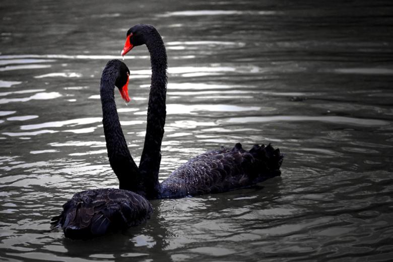 一年的黑天鹅养殖场_观赏性黑天鹅养殖场