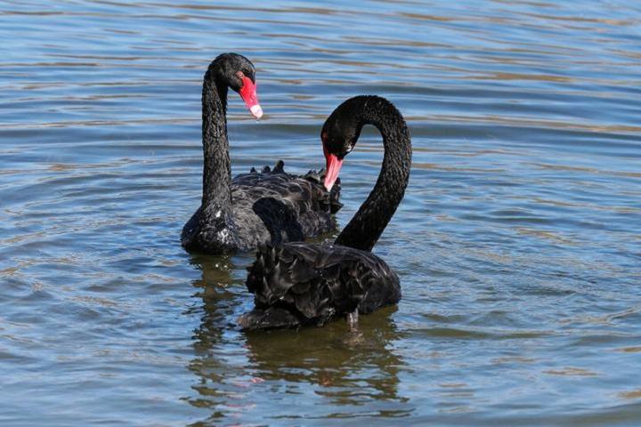 双鸭山黑天鹅种鹅多少钱--动物园观赏黑天鹅养殖基地#鸿金源养殖