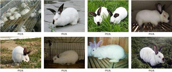 山东莱芜兔场电话2020养兔前景