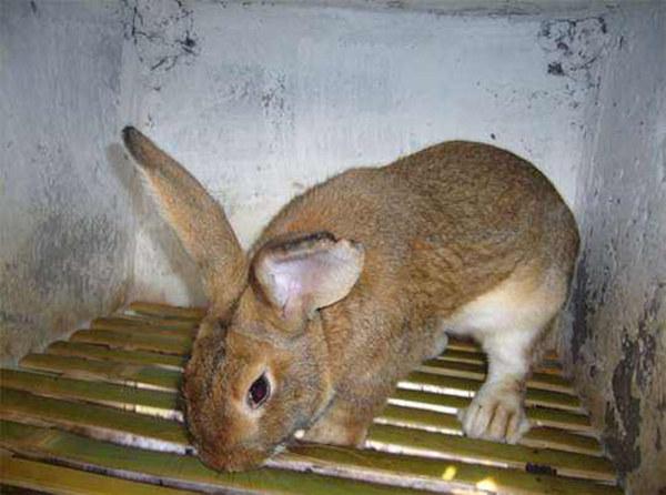 烈山区哪里卖兔子/正规养殖场