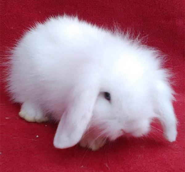 黔西南晴隆本地卖比利时兔创业养兔
