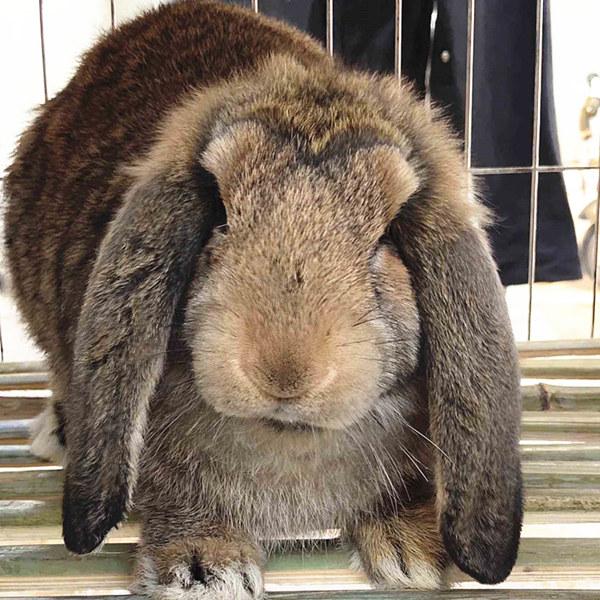 雁塔本地兔场肉兔前景如何