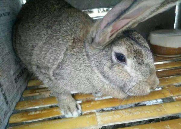 中山火炬大型养兔基地肉兔前景如何