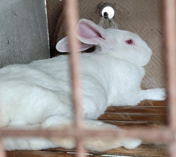 湖北咸宁养兔基地哪个品种的兔子可以长十几斤