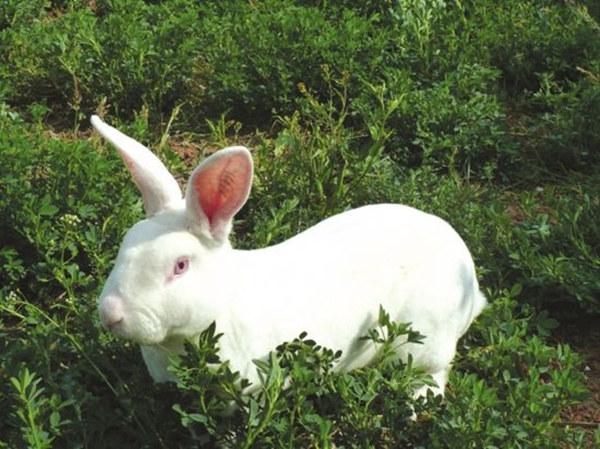 南阳社旗本地兔场肉兔前景如何