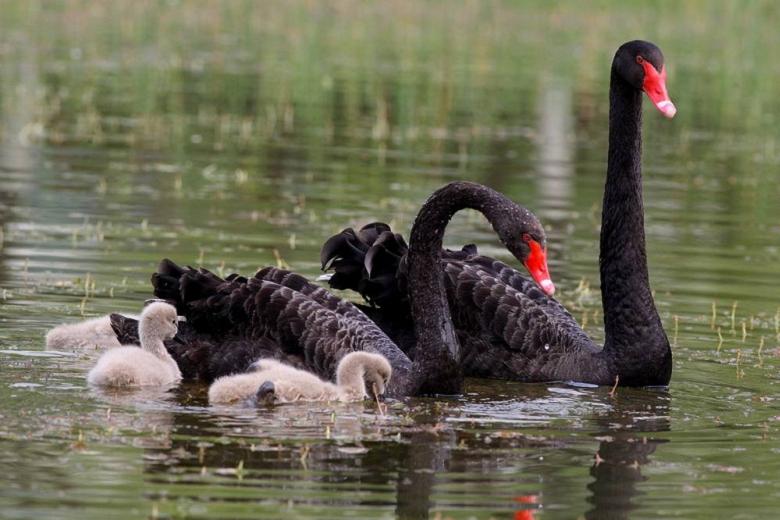 黑天鹅常年出售  黑天鹅鹅苗出售   活体观赏水禽黑天鹅养殖前景