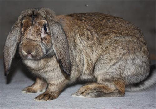 中山横栏养兔子场合作养兔包技术包回收