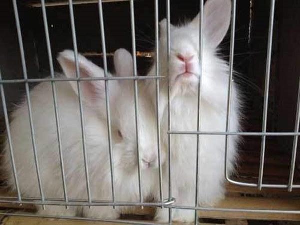 湖南郴州养兔子场肉兔前景如何