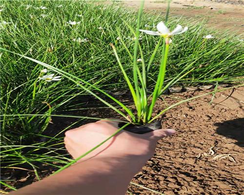 湖南娄底麦冬草种植基地行业热点: