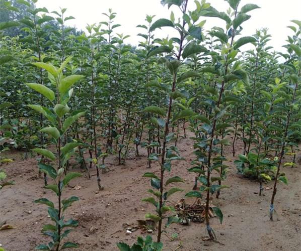 苹果苗价格、苗、秋彤桃树苗现场起苗四川苗木基地