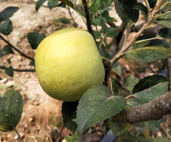 1公分华硕苹果苗近期价格 3鲁丽公分苹果苗繁育中心安徽欢迎您