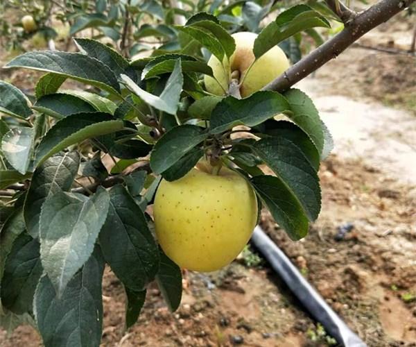 1公分苗亩栽多少棵、2公分苹果苗出售价格河北苗木基地