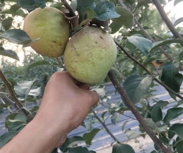 重庆1公分早熟苹果苗嫁接苗、2公分苗回收价格