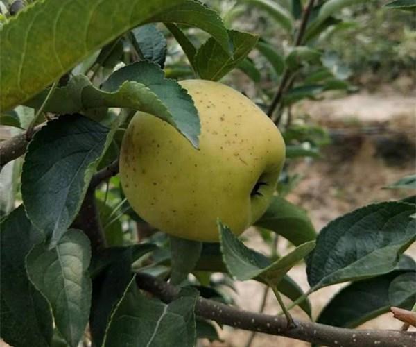 沧州市乐琪苹果苗单价 1公分乐琪苹果苗发展方向
