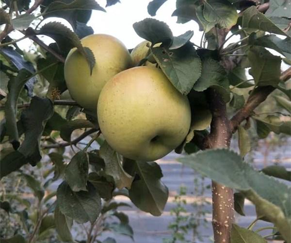 长治郊区苹果苗2公分瑞香红苹果苗今天价格