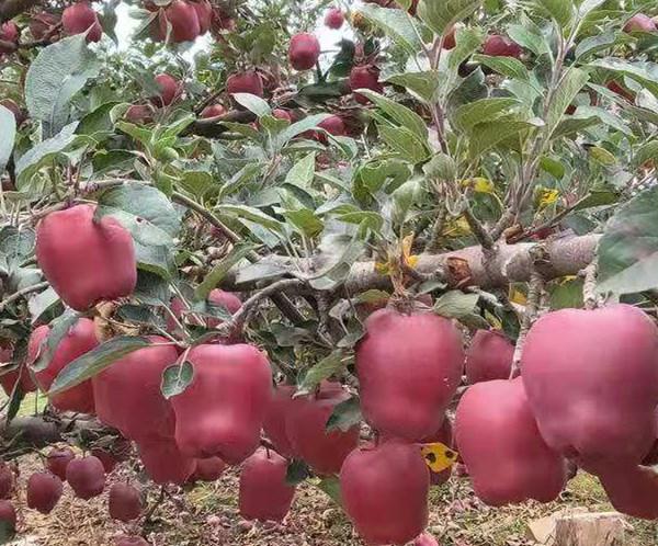 华硕苹果苗出售价格 苗起苗价格安徽欢迎您